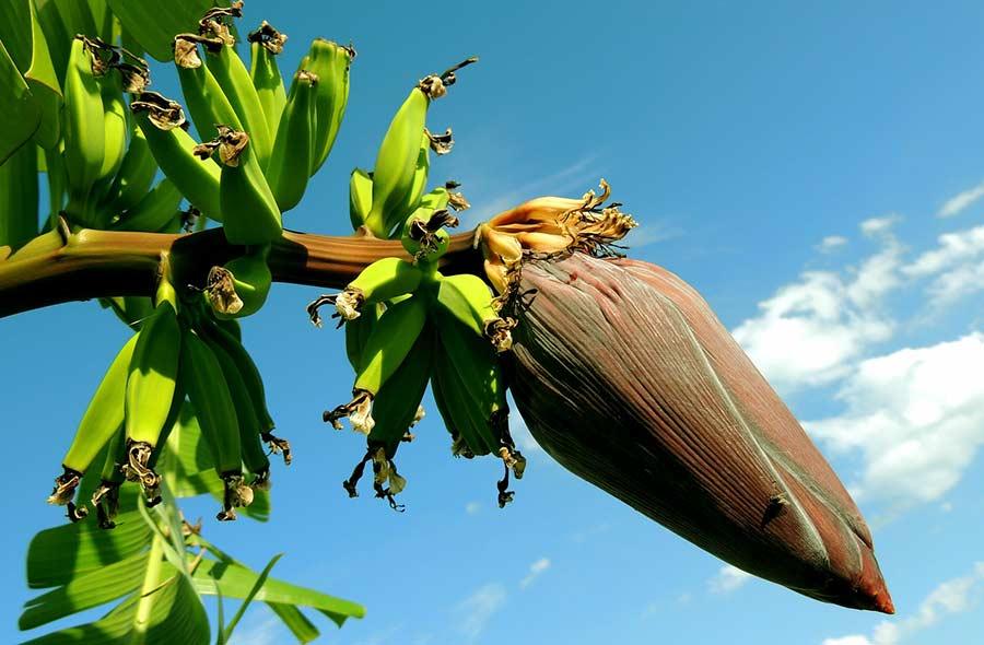 Ville de saint-Eustache - Conte Ngabo - Comment poussent les bananes?