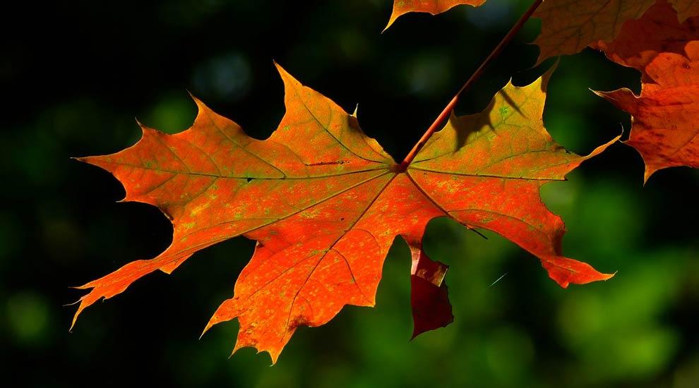 La collecte des feuilles mortes et résidus verts en octobre et novembre 2020